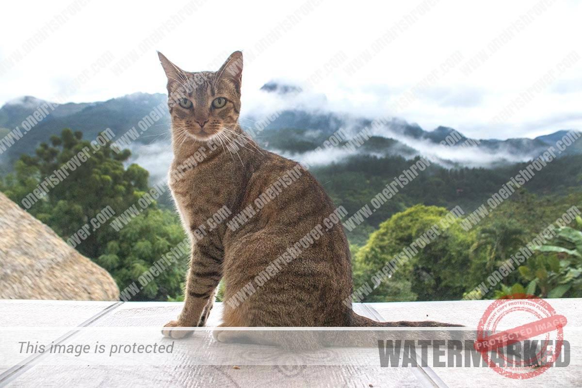Tiger my cat